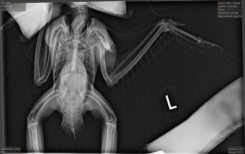 Red Tail X-Ray